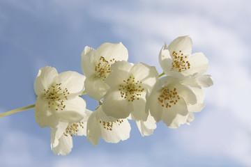 White jasmin flowers on blue sky background