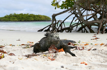 A marine iguana resting on a sandy beach
