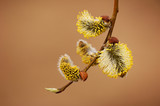 blossoming pussy-willow on yellow background poster