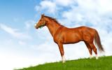 Sorrel stallion in field poster