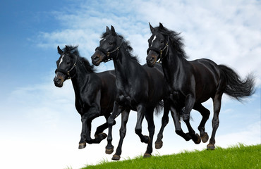 Three black horses gallops