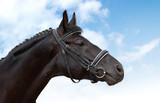black horse - equestrian sport poster