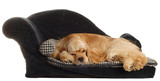 cocker spaniel laying on dog bed isolated poster