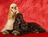 two american cocker spaniels on red background poster