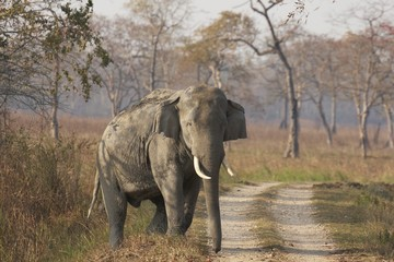 Wild Male Asian Elephant. Kaziranga National Park, India