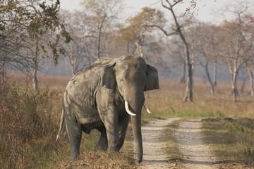 Wild Male Asian Elephant. Kaziranga National Park, India