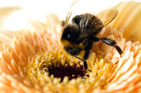 A bumble-bee collects pollen on (shallow dof) poster