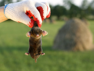 dangerous, live mole in hand, showing claws and paws
