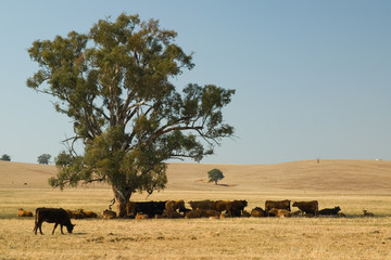 Cows in shade, Australia