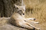 Coyote (Canis latrans) in Banff National Park Canada poster
