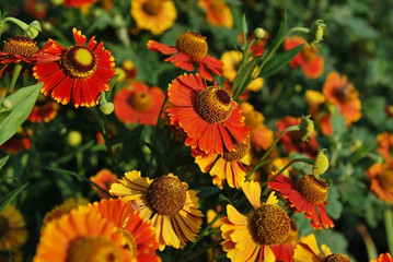 beautiful flower helenium. Close-up