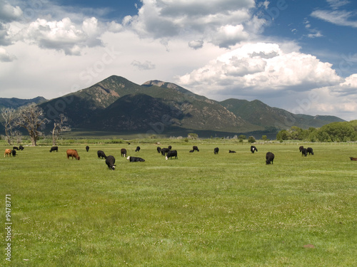 Cattle grazing by Sangre de Cristo mountains, NM