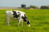 Dairy Friesian cow grazing poster