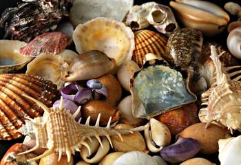 A beauteful alluvial of different Mediterranean seashells