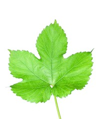 Isolated hop leaf