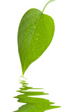 Leaf green and fresh with reflex over water isolation poster