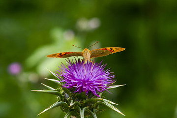 Little butterfly sitting on a burdock flower