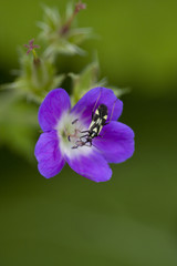 Little bug sitting on a violet flower