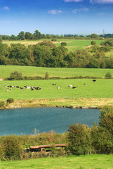 Dairy cattle in field with lake