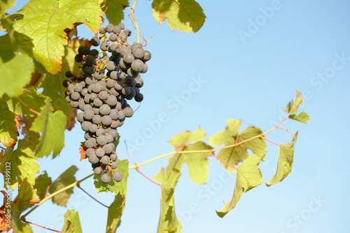Close view of a red grape, Piedmont hills, north Italy.