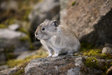 Collared Pika poster