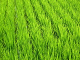 Luscious green wheat field found in Japan poster