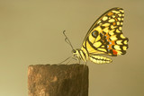 single butterfly at rest on a tree stump poster
