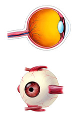 Human eye interior and exterior anatomy.