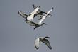 Heilige Ibisse (Threskiornis aethiopicus)