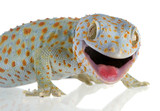 Tokay gecko - Gekko gecko in front of a white background