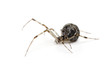 Common house spider in front of a white background
