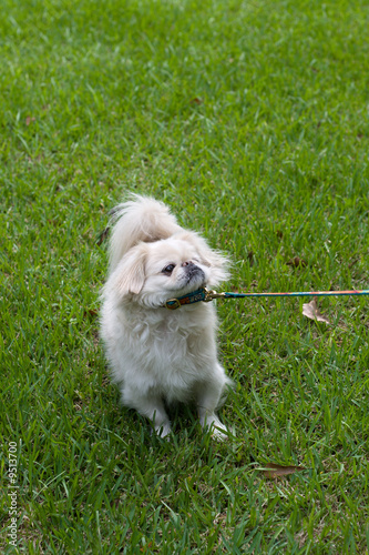 stubborn Pekingese dog learning to walk on a leash