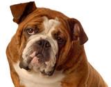 red brindle english bulldog poster