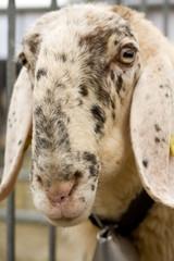 muso di una capra