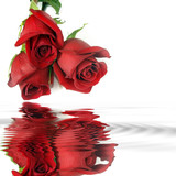 Red roses  Reflection in water. Template for congratulations.