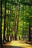 Fototapety 森の中の道