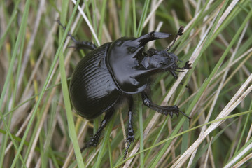 minataur beetle with horns