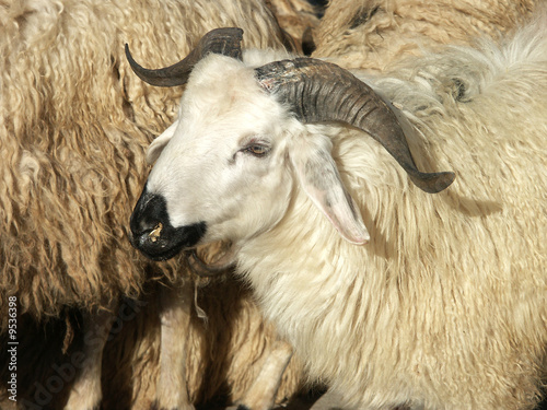 close up image of sheep