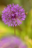 blossoming decorative garlic and pollinating bee poster