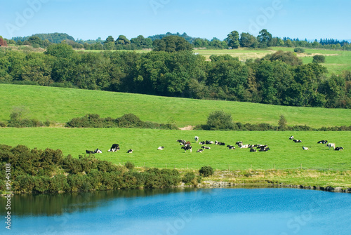 Cows relaxing in the Autumn sun in Shropshire, England