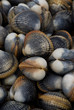 Fresh clams just out of the ocean