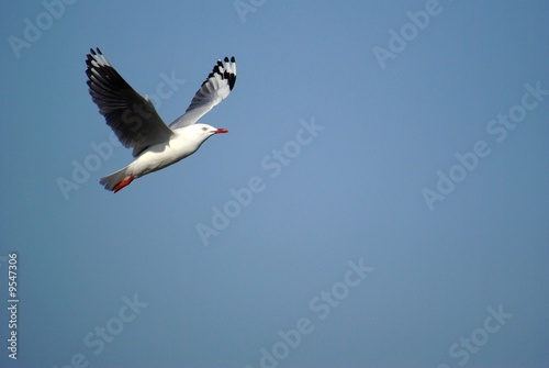 seagull in flight 2