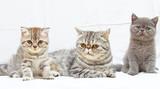 British Shorthair kitty poster