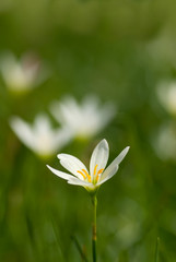 zephyranthes candida with shallow depth of field (dof)