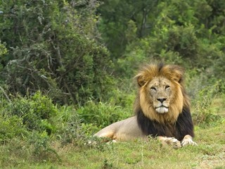 Lions sometimes live in very thick bush