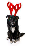 Isolated border collie wearing festive reindeer antlers