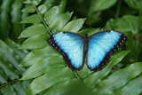 Common Blue Morpo Tropical Butterfly