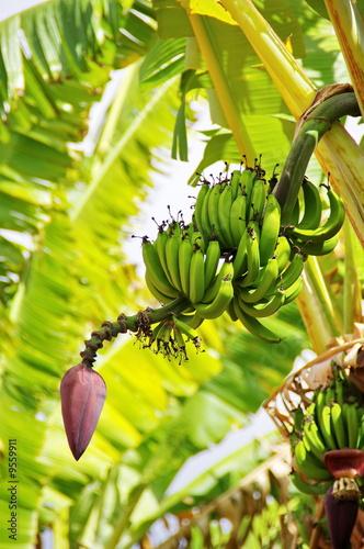 r gime de banane en fleur sur son arbre photo libre de droits sur la banque d 39 images fotolia. Black Bedroom Furniture Sets. Home Design Ideas