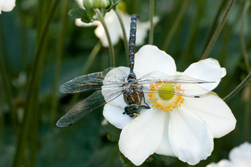 Close-up of a dragonfly on a flower
