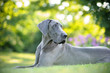 Great Dane Looking Away